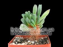 Adromiscus aff. Cristatus