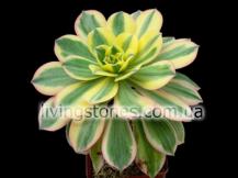 Aeonium Arboreum cv. Sunburst
