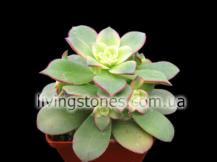 Aeonium cv. Kiwi