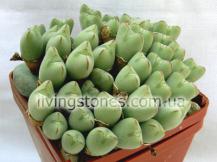 Conophytum Bilobum ssp.Altum