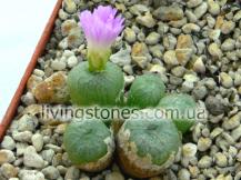 """Conophytum Ectypum """"Tischleri"""" x Marnieranum x Auriflorum"""