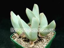 Conophytum Herreanthus, Umdaus