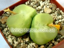 Conophytum Ratum (Deflated Burgeri)