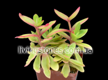 Crassula Capitella cv Flame