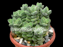Crassula Deceptor cv. Moonglow