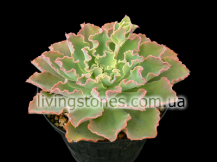 "Echeveria cv.""Frilly"""