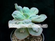 Echeveria cv. Paul Banyan