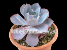 Echeveria cv. Pinky