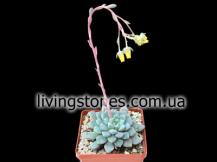 Echeveria Subcorymbulosa (syn. Echeveria Expatriata)