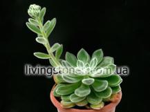 Echeveria cv. Doris Taylor