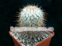 Echinofossulocactus Vaupelianus