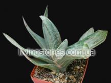 Gasteria Brachyphylla cv. Albovariegata
