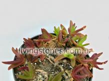 Glottiphyllum Linguiforme Little Karoo