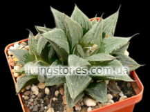 "Haworthia cv. ""Black Mayor"""