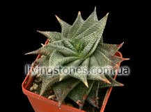 "Haworthia Limifolia ""Black form"""