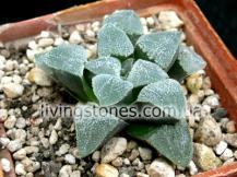 Haworthia Pygmaea var. Crystallina