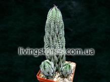 Haworthia Reinwardtii v. Peddiensis