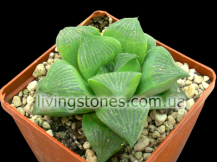 "Haworthia Retusa cv. ""Giant"""
