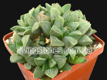 Haworthia Retusa Heidelberg form