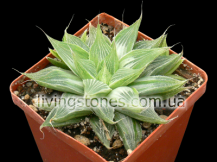 Haworthia Retusa Variegata cv. Grey Ghost