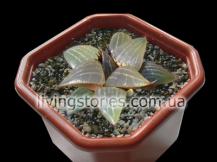 Haworthia sy-116 ([h.bayeri x h.springbokvlakensis] x h.comptoniana)