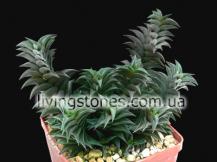 "Haworthia Viscosa ""Spiral Form"""