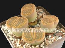 Lithops Aucampiae subsp. Aucampiae var. Aucampiae, Kohres C4
