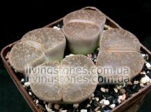 Lithops Lesliei subsp. Lesliei var. Lesliei C115
