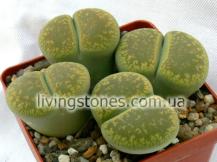 """Lithops Aucampiae subsp. Aucampiae acf. """"Jackson's Jade"""" C395"""