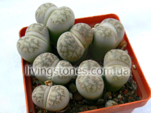 Lithops Coleorum С396