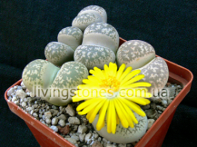 Lithops Gesineae var. Gesineae  C207