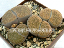 Lithops Hookeri var. Marginata C155 (Red-Brown form)