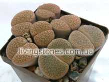 Lithops Hookeri var. Marginata C337 (Red-Brown form)