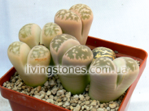 Lithops Karasmontana subsp. Bella (Rose selection)