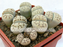 Lithops Karasmontana subsp. Eberlanzii