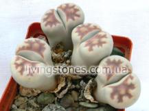 Lithops Karasmontana subsp. Karasmontana var. Lericheana