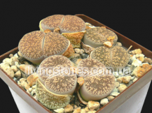 Lithops Lesliei subsp. Lesliei var. Lesliei C341 (Kimberley form)