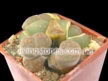 Lithops Lesliei subsp. Lesliei var. Rubrobrunnea C204
