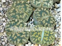 Lithops Lesliei cv. Super Clone
