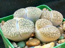 "Lithops Lesliei subsp. Lesliei var. Lesliei ""Kimberley form"" C014"