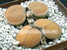 Lithops Lesliei subsp. Lesliei var. Mariae C141