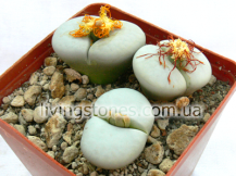 Lithops Pseudotruncatella subsp. Groendrayensis C246 (Witkop form)