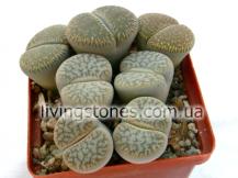"Lithops Pseudotruncatella subsp. Pseudotruncatella var. Pseudotruncatella ""Alpina"" C068"
