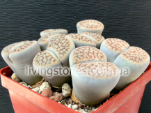 Lithops Schwantesii subsp. Gebseri C165