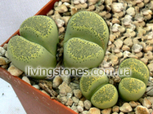 Lithops Terricolor acf. Speckled Gold C345A