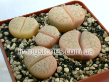 Lithops Vallis-Mariae C060 (Rose selection)