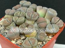 Lithops Villetii subsp. Deboeri C257