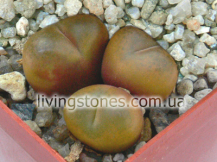 Ophthalmophyllum Schuldtii