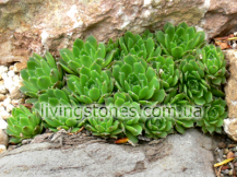 Sempervivum Burnatii
