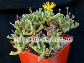 Rhombophyllum